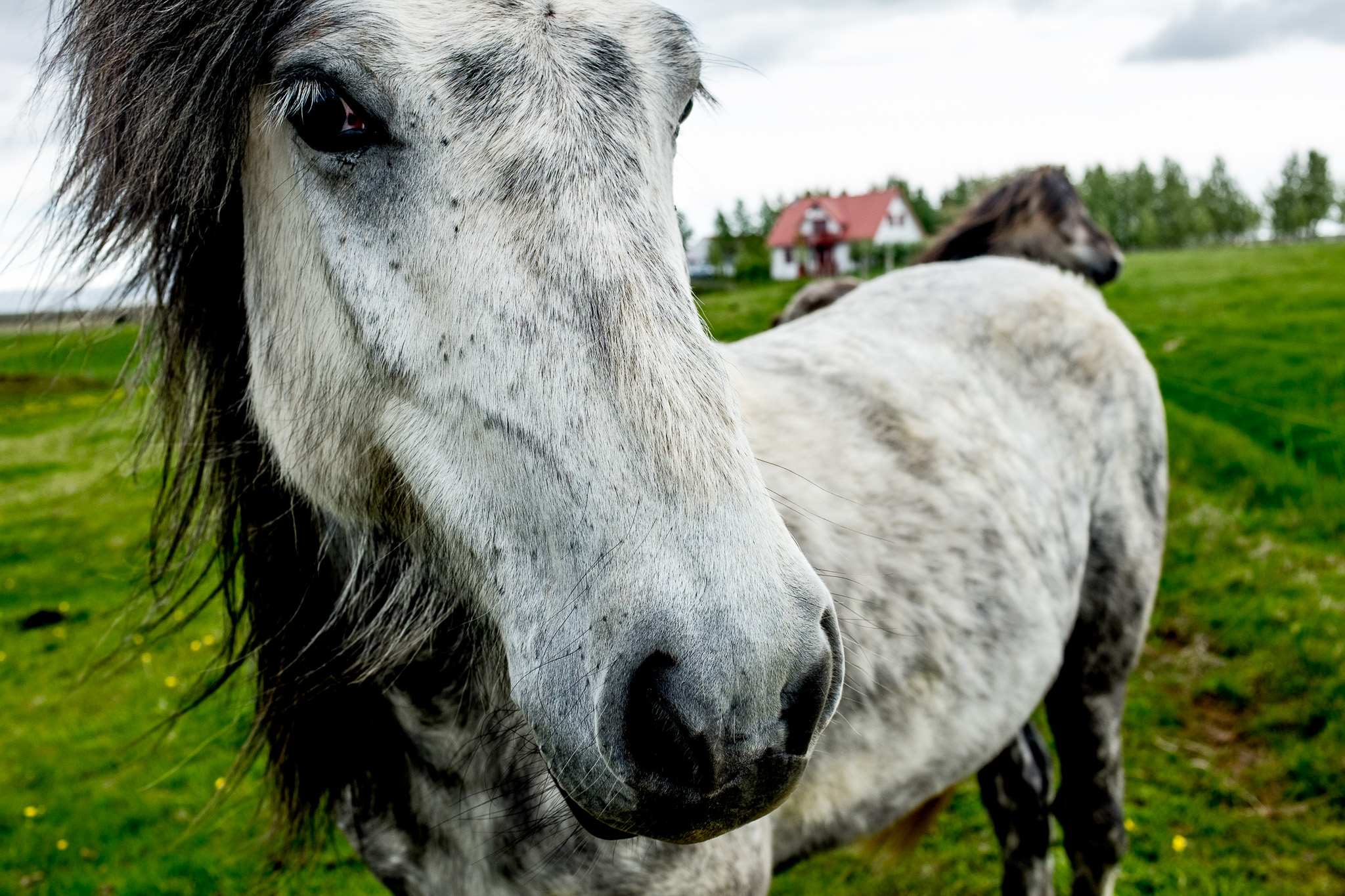 Magical horses in Iceland
