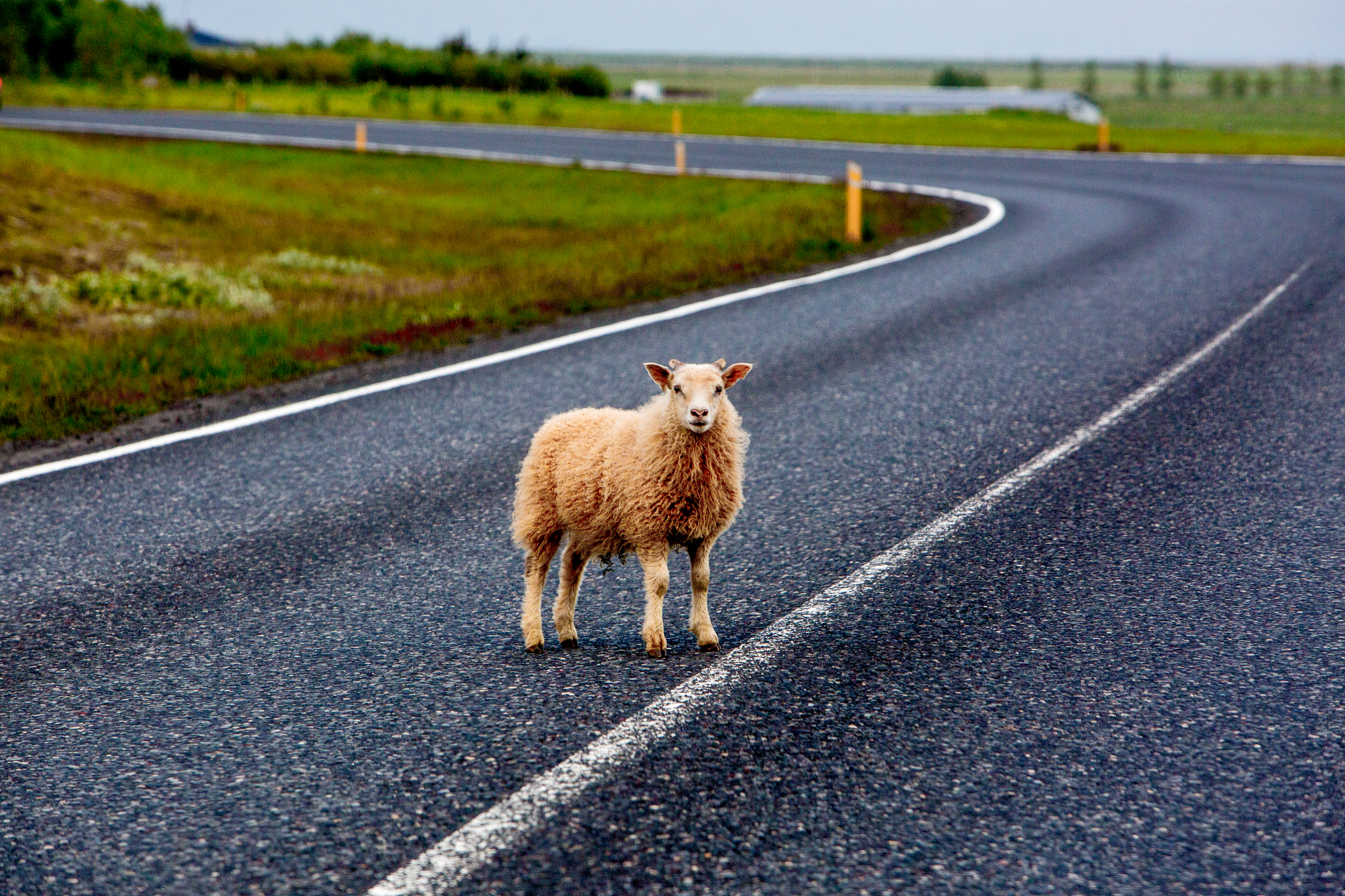 Iceland sheep in road